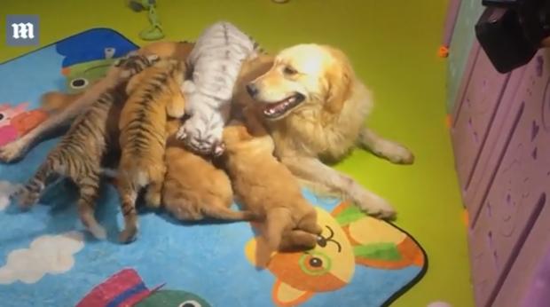 Góc bỉm sữa: Khi hổ, sư tử, linh cẩu đều chung sống dưới một mái nhà của mẹ chó bất đắc dĩ - Ảnh 4.