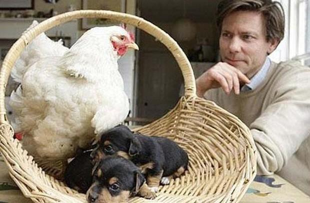 Khi mẹ gà bị cuồng ấp: Không ngừng làm ấm các con vật khác bằng bộ lông mềm mại của mình - Ảnh 1.