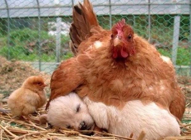 Khi mẹ gà bị cuồng ấp: Không ngừng làm ấm các con vật khác bằng bộ lông mềm mại của mình - Ảnh 3.