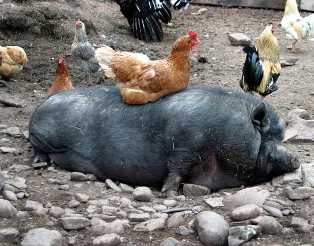 Khi mẹ gà bị cuồng ấp: Không ngừng làm ấm các con vật khác bằng bộ lông mềm mại của mình - Ảnh 6.