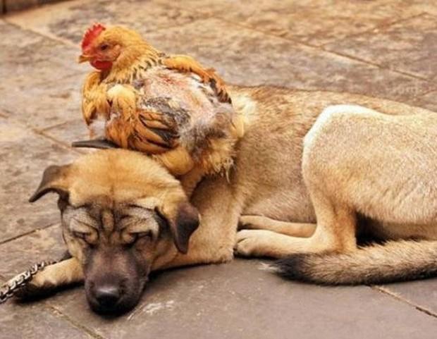 Khi mẹ gà bị cuồng ấp: Không ngừng làm ấm các con vật khác bằng bộ lông mềm mại của mình - Ảnh 9.