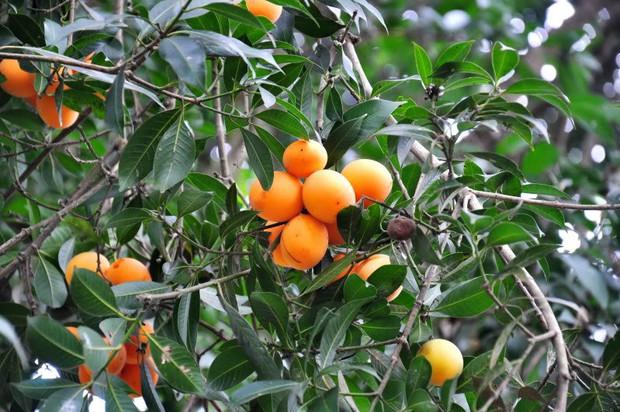 Về Vĩnh Long nhớ thưởng thức trái thanh trà để cảm nhận vị chua ngọt của miền Tây miệt vườn - Ảnh 1.