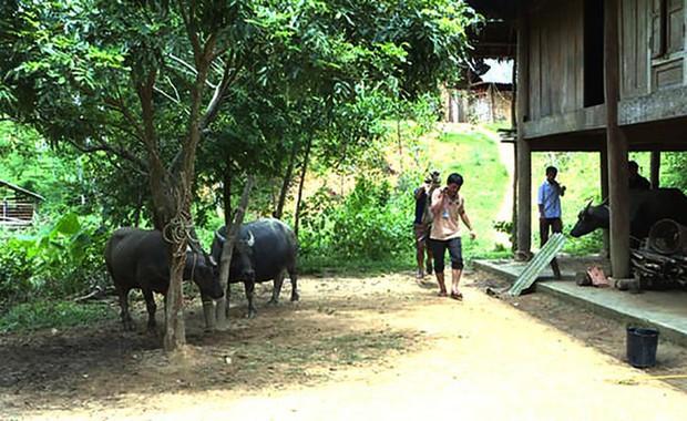 Nghệ An: Người dân miền núi xót xa khi trâu bò chết như ngả rạ vì dịch tụ huyết trùng - Ảnh 1.