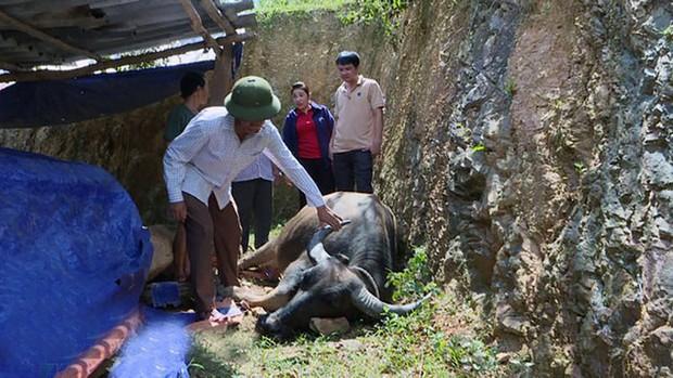 Nghệ An: Người dân miền núi xót xa khi trâu bò chết như ngả rạ vì dịch tụ huyết trùng - Ảnh 2.