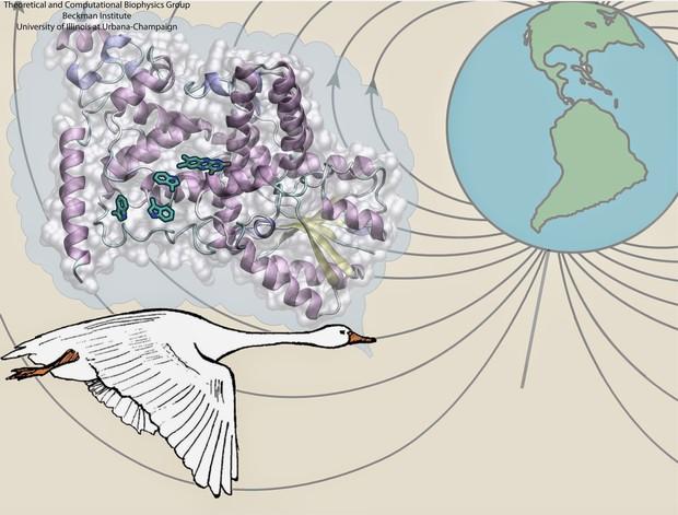 Chim chóc có thể nhìn thấy từ trường, nhưng đến bây giờ con người mới hiểu được tại sao - Ảnh 1.