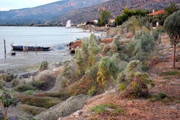 Bờ biển Hy Lạp bị mạng nhện khổng lồ bao phủ, dân mạng bấn loạn đòi đốt sạch trước khi lũ nhện sinh sôi nảy nở - Ảnh 4.