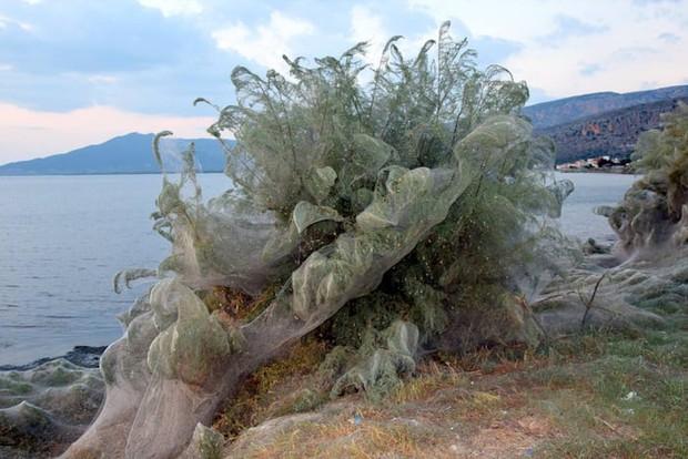 Bờ biển Hy Lạp bị mạng nhện khổng lồ bao phủ, dân mạng bấn loạn đòi đốt sạch trước khi lũ nhện sinh sôi nảy nở - Ảnh 7.
