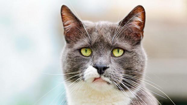 Tại sao lũ mèo luôn tỏ ra khinh thường loài người? Nếu bạn nghĩ như vậy thì hơi oan cho boss đấy - Ảnh 1.