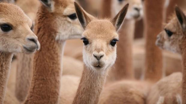 Ít ai ngờ chú lạc đà xinh xẻo này lại là nguồn gốc của loại vải sợi quý hiếm nhất thế giới - Ảnh 1.
