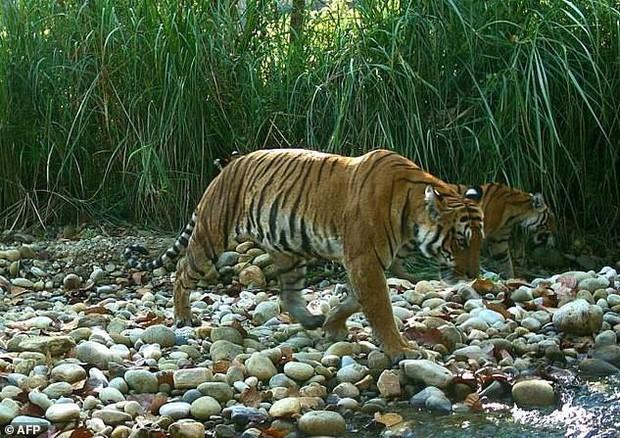 Tin mừng với thế giới: Hổ Nepal đang hồi sinh, số lượng tăng gấp đôi chỉ trong chưa đầy 1 thập kỷ - Ảnh 1.