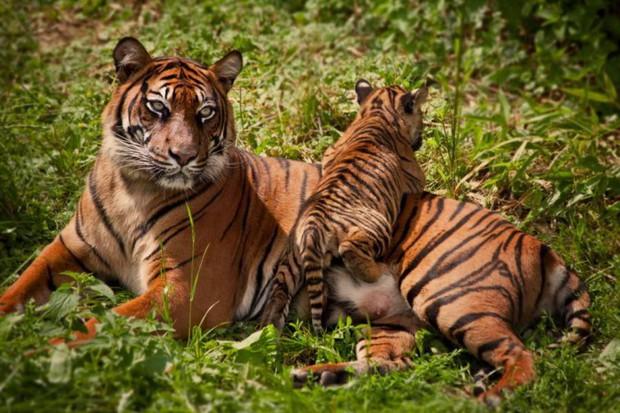Tin mừng với thế giới: Hổ Nepal đang hồi sinh, số lượng tăng gấp đôi chỉ trong chưa đầy 1 thập kỷ - Ảnh 2.