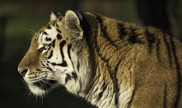 Hổ cái ngã quỵ trong rạp xiếc ở Nga, bị người huấn luyện túm đuôi kéo đi lý do ai nghe xong cũng bất ngờ - Ảnh 3.