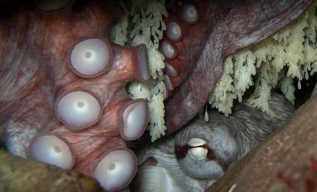 Bí mật đen tối ít người biết của loài bạch tuộc nay đã được khoa học khám phá - Ảnh 2.