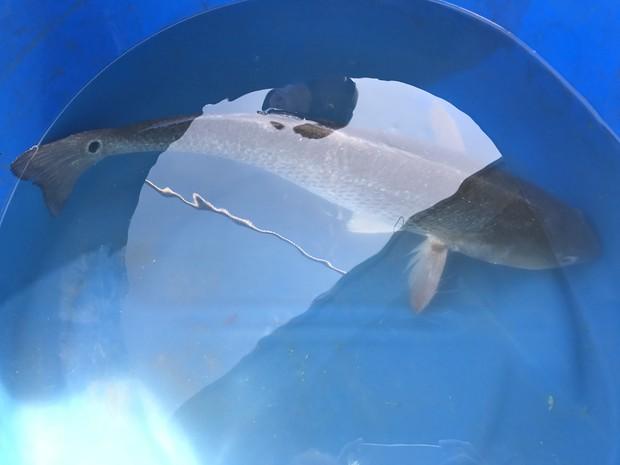 Ngư dân Đà Nẵng bắt được cá lạ, nghi cá sủ vàng quý hiếm - Ảnh 6.