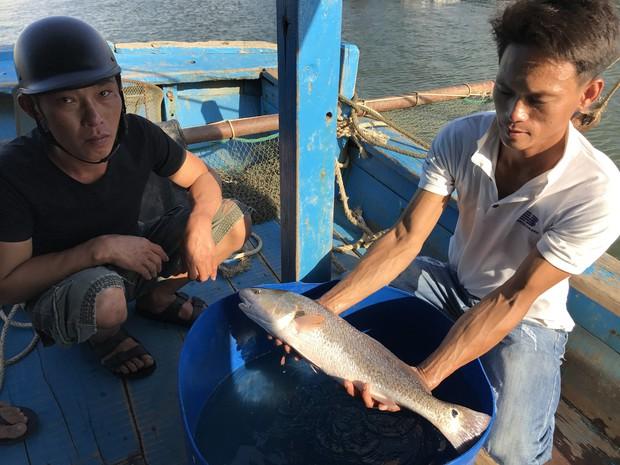 Ngư dân Đà Nẵng bắt được cá lạ, nghi cá sủ vàng quý hiếm - Ảnh 2.