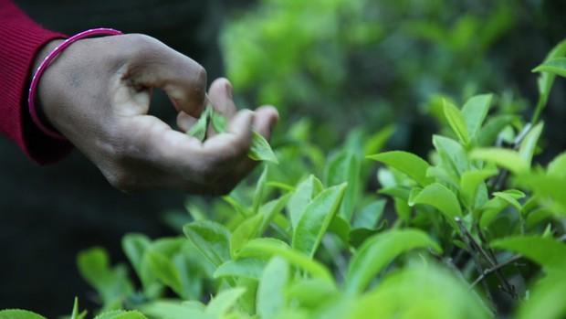 Dãy Himalaya hùng vĩ là quê hương của giống trà quý hiếm nhất của Ấn Độ: 50 triệu mới được 1kg - Ảnh 4.