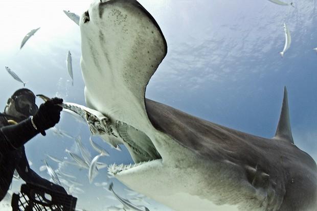 Xác nhận loài cá mập đầu tiên trong lịch sử biết... ăn chay mà vẫn sống khỏe mạnh - Ảnh 2.