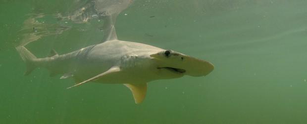 Xác nhận loài cá mập đầu tiên trong lịch sử biết... ăn chay mà vẫn sống khỏe mạnh - Ảnh 1.