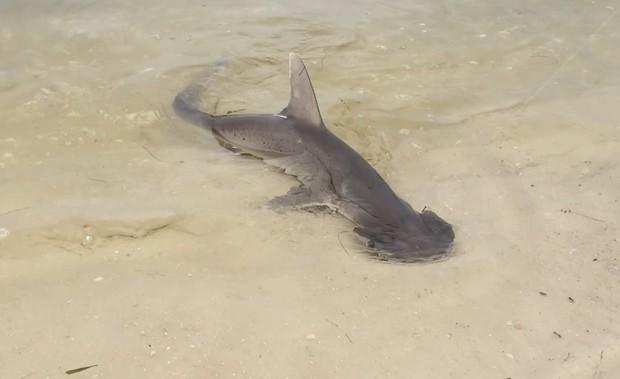 Xác nhận loài cá mập đầu tiên trong lịch sử biết... ăn chay mà vẫn sống khỏe mạnh - Ảnh 3.