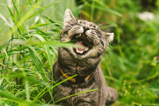 Là động vật ăn thịt nhưng tại sao nhiều boss mèo lại thích ăn cỏ? - Ảnh 2.