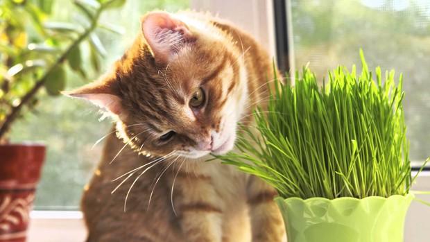 Là động vật ăn thịt nhưng tại sao nhiều boss mèo lại thích ăn cỏ? - Ảnh 3.