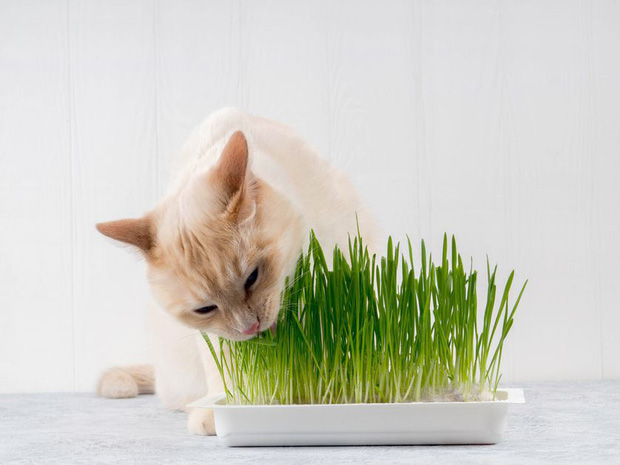 Là động vật ăn thịt nhưng tại sao nhiều boss mèo lại thích ăn cỏ? - Ảnh 4.