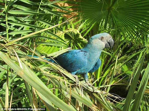 Tin sốc: Vẹt Rio của Brazil sẽ tuyệt chủng trong vòng 2 năm kế tiếp - Ảnh 2.