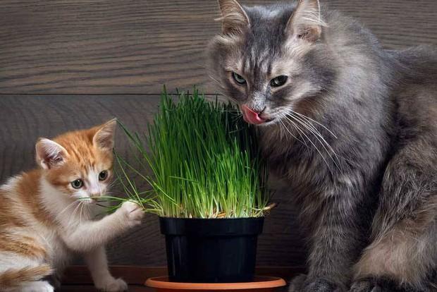 Là động vật ăn thịt nhưng tại sao nhiều boss mèo lại thích ăn cỏ? - Ảnh 5.