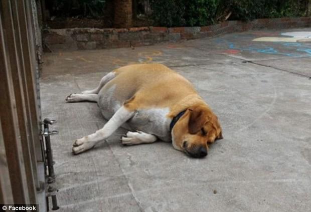 Được cưng chiều rồi cho ăn liên tục, chú chó gác cổng trường bỗng hóa lợn, bị buộc ăn kiêng để giảm cân - Ảnh 1.