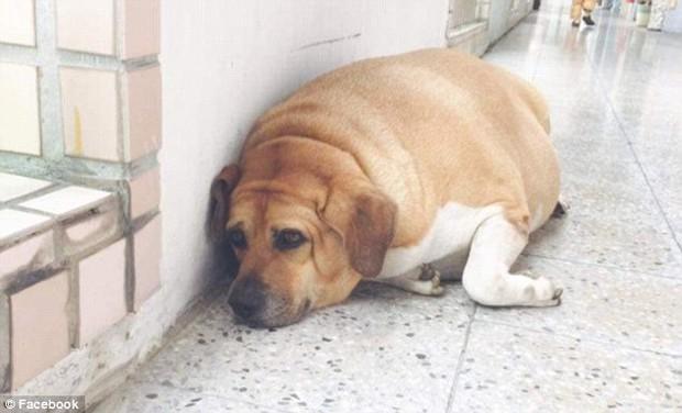 Được cưng chiều rồi cho ăn liên tục, chú chó gác cổng trường bỗng hóa lợn, bị buộc ăn kiêng để giảm cân - Ảnh 5.