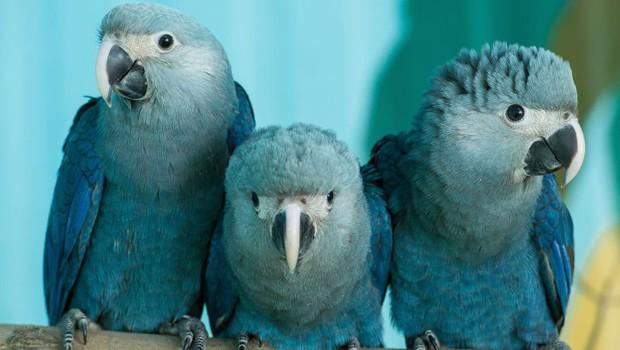 Tin sốc: Vẹt Rio của Brazil sẽ tuyệt chủng trong vòng 2 năm kế tiếp - Ảnh 3.