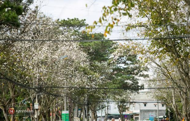 Không chỉ mai anh đào, Đà Lạt mùa này còn khiến người ta xuyến xao vì hoa ban trắng - Ảnh 6.