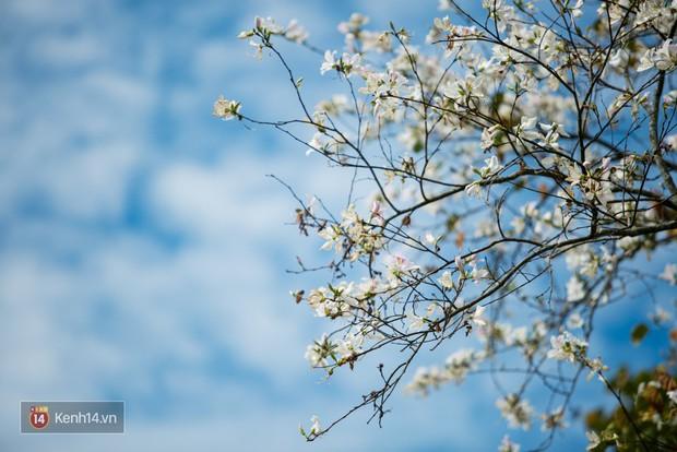 Không chỉ mai anh đào, Đà Lạt mùa này còn khiến người ta xuyến xao vì hoa ban trắng - Ảnh 1.