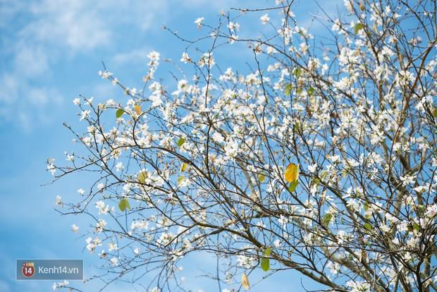 Không chỉ mai anh đào, Đà Lạt mùa này còn khiến người ta xuyến xao vì hoa ban trắng - Ảnh 2.