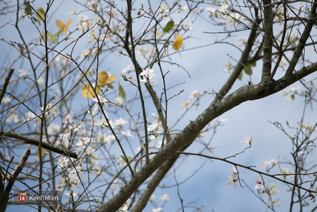 Không chỉ mai anh đào, Đà Lạt mùa này còn khiến người ta xuyến xao vì hoa ban trắng - Ảnh 7.