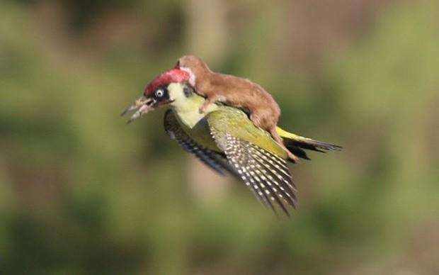 Chùm ảnh khoảnh khắc động vật khác loài cõng nhau - thế mới thấy thiên nhiên kỳ thú thế nào - Ảnh 8.