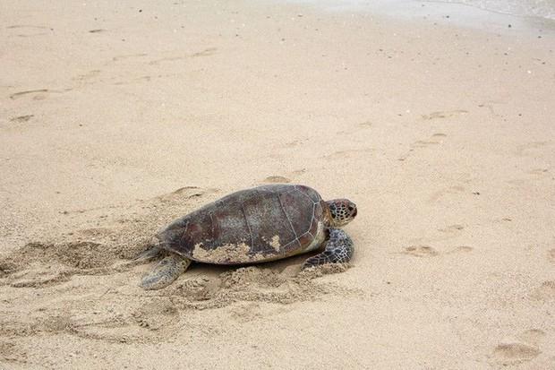 Biến đổi khí hậu đang khiến quần thể rùa biển này rơi vào cảnh âm thịnh dương suy - Ảnh 1.