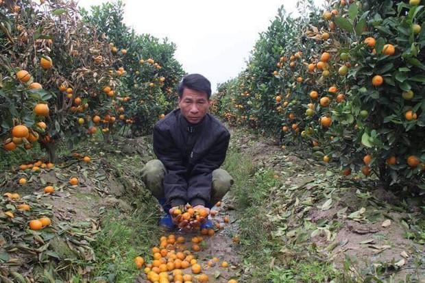 Hình ảnh người nông dân khóc nghẹn bên 450 gốc quất bị phá hoại dịp cận Tết khiến cộng đồng mạng xót xa - Ảnh 3.