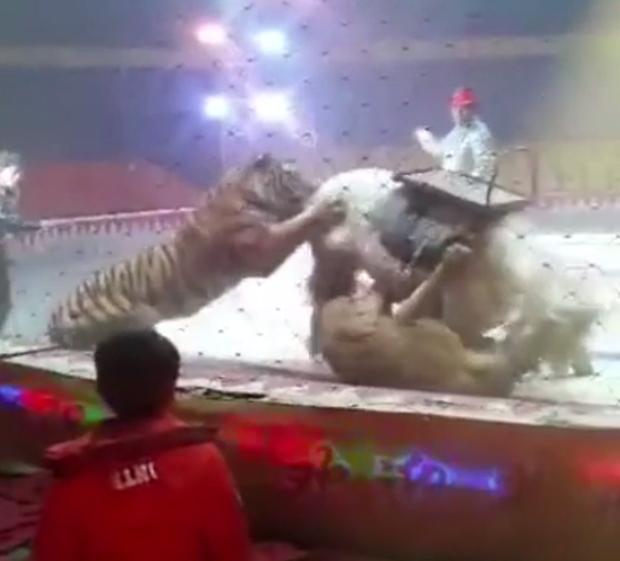Đang diễn tập bình thường, sư tử và hổ nhảy vào cắn xé con ngựa trong rạp xiếc ngay trước mắt người huấn luyện - Ảnh 1.