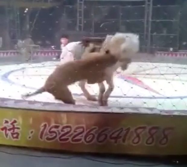Đang diễn tập bình thường, sư tử và hổ nhảy vào cắn xé con ngựa trong rạp xiếc ngay trước mắt người huấn luyện - Ảnh 2.
