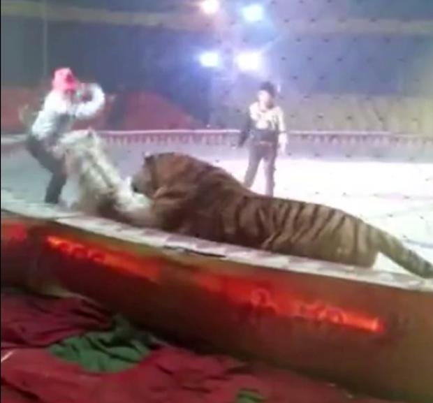 Đang diễn tập bình thường, sư tử và hổ nhảy vào cắn xé con ngựa trong rạp xiếc ngay trước mắt người huấn luyện - Ảnh 3.