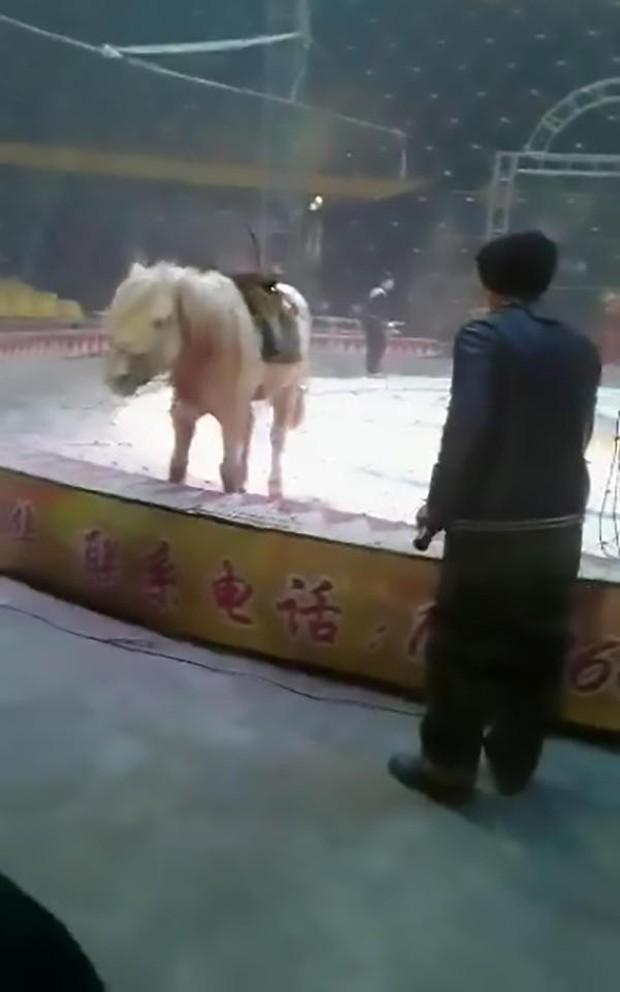 Đang diễn tập bình thường, sư tử và hổ nhảy vào cắn xé con ngựa trong rạp xiếc ngay trước mắt người huấn luyện - Ảnh 4.