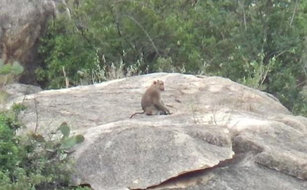 Khỉ xuống núi phá vườn nho, tấn công người ở Ninh Thuận - Ảnh 1.