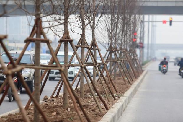 GS nói trồng thử cây phong lá đỏ ở Hà Nội không có thiệt hại ngân sách nếu thất bại - Ảnh 2.