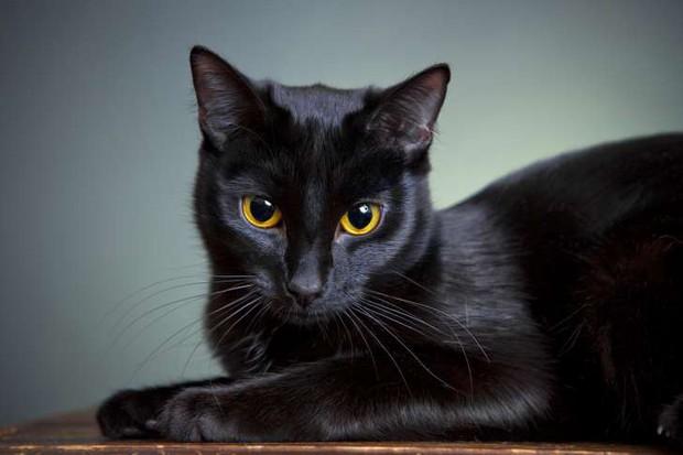 Mèo đen có thực mang đến vận đen? Hãy đọc bài này để thấy yên tâm hơn - Ảnh 1.