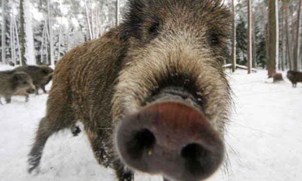 Lợn rừng băng qua đường gây tai nạn liên hoàn làm 11 người thương vong  - Ảnh 1.