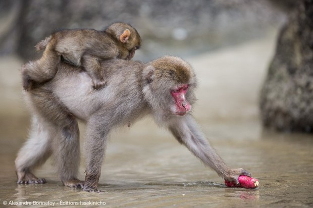 Chuyện nước Nhật: Tuyết rơi dày, lũ khỉ tuyết rủ nhau đu dây điện thoại cho đỡ lạnh chân - Ảnh 2.