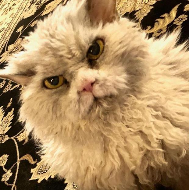 Gặp gỡ Albert: Con mèo lông xoăn trông lúc nào cũng cáu bẳn cục súc đang là hiện tượng MXH - Ảnh 5.