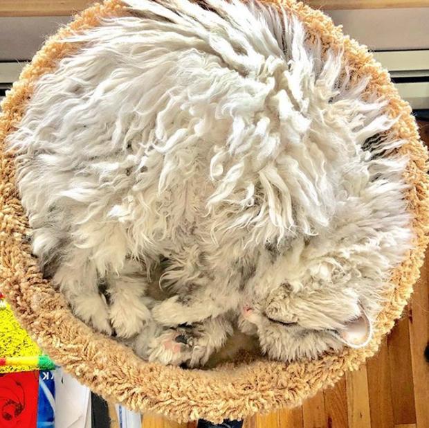 Gặp gỡ Albert: Con mèo lông xoăn trông lúc nào cũng cáu bẳn cục súc đang là hiện tượng MXH - Ảnh 6.