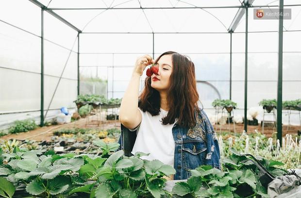 Không cần mất công đi Mộc Châu, một vườn dâu tây đã có ngay ở Hà Nội phục vụ Tết nguyên đán - Ảnh 3.